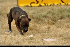 Staffbull Speciál – ukázka výcviku