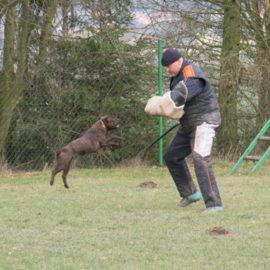 výcvik psů stafordšírský bulterirér